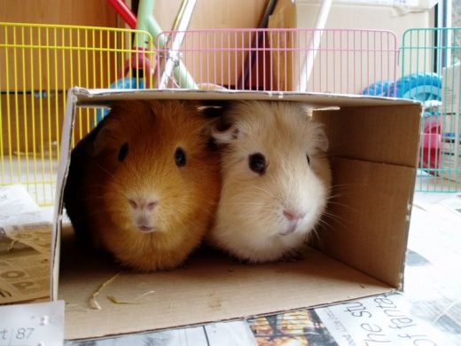 Guinea Pig Toys : Cage and toys caring for guinea pigs